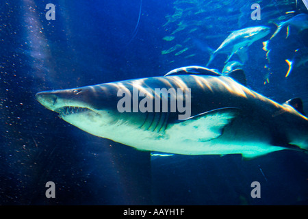 south africa cape town waterfront aquarium shark with baby - Stock Image