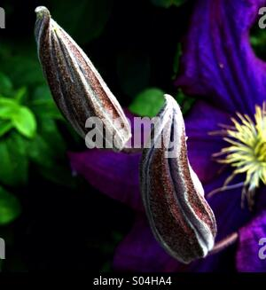 Clematis in Bud - Stock Image