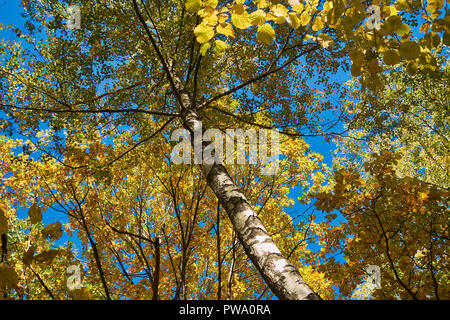 Yellow foliage of a birch tree in autumn. Bitsevski Park (Bitsa Park), Moscow, Russia. - Stock Image