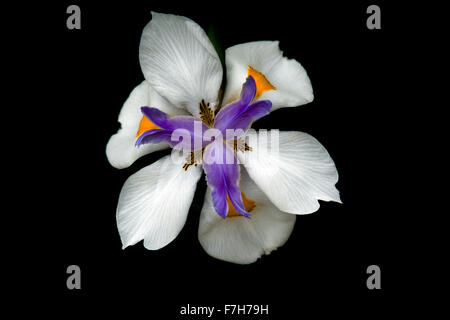 Fortnight lily blooms in California. - Stock Image
