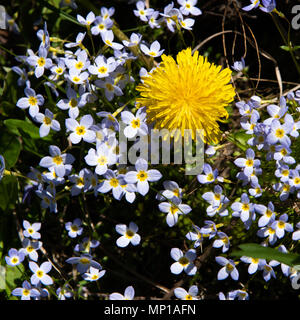 A single bright yellow dandelion, taraxacum, growing in a field of bluets, Houstonia, in the Adirondack Mountains, NY USA, different concept. - Stock Image