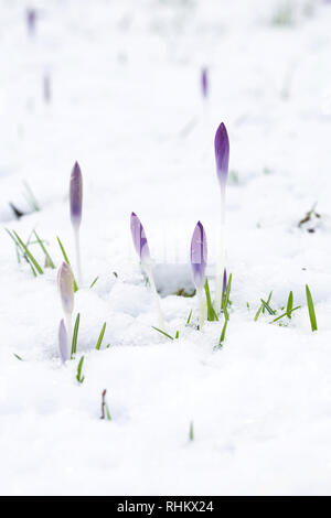 Crocuses in the snow. - Stock Image