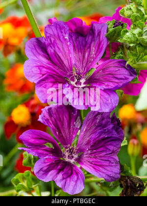 Richly coloured purple open trumpets of the short lived perennial tree mallow, Malva sylvestris var. mauritiana - Stock Image