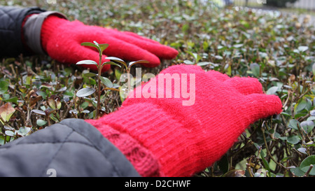 red gloves - Stock Image