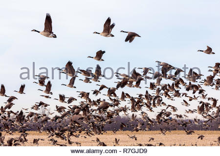 Flock of migrating Canada Geese Branta canadensis flying in autumn in Whitby Ontario Canada - Stock Image