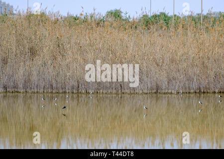 Black-winged stilt at Al Wathba Wetland Reserve Abu Dhabi, UAE - Stock Image
