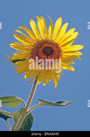 Backlit Sunflower against blue sky - Stock Image