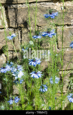 Love in a mist flower planted against wall - Stock Image