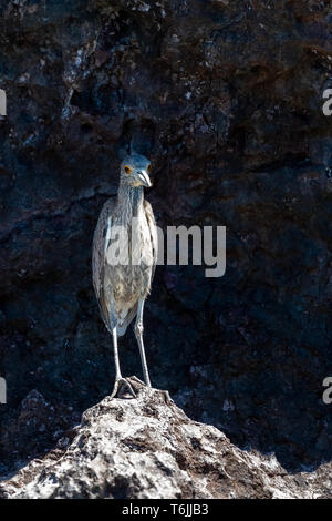 Immature Yellow-crowned Night-Heron (Nyctanassa violacea) on the rocky shore of Baja California, Mexico. - Stock Image