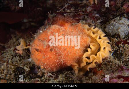 Thordisa rubescens laying eggs - Stock Image