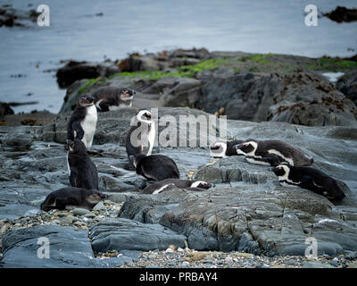 African penguins on Robben Island in Table Bay, Cape Town, South Africa - Stock Image