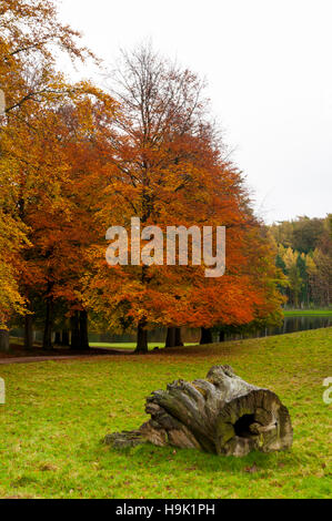A large hollow log in front of beech trees (Fagus sylvatica) in their autumn colours at Studley Royal, Ripon, North - Stock Image