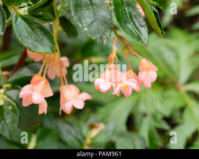 Pink flowered form of the tender shrubby evergreen, Begonia fuchsiodes, a good summer patio plant - Stock Image
