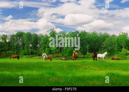 Range horses grazing in green farmlands during Swedish summer near Flen - Stock Image