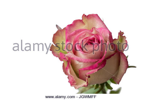 Pink and white rose close up white background - Stock Image