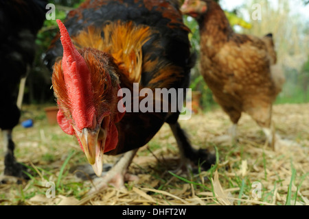 Closeup of French Maran rooster - Stock Image