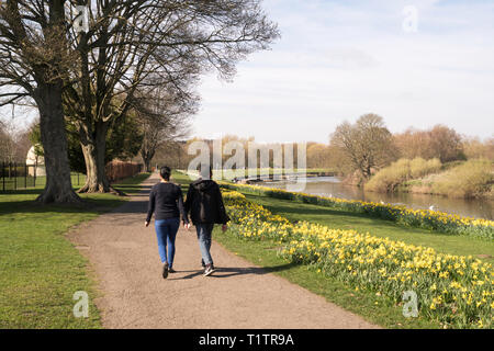 Couple walking past a drift of daffodils in Chester-le-Street riverside park, Co. Durham, England, UK - Stock Image