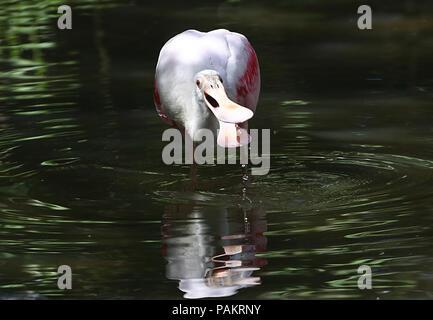Roseate Spoonbill (Platalea ajaja) foraging in wetlands - Stock Image