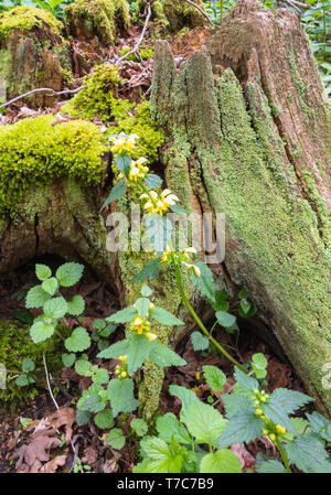 Yellow Aachangel (Lamiastrum galeobdolon) growing from the base of a rotting tree stump, Woolhope Herefordshire England UK. April 2019. - Stock Image