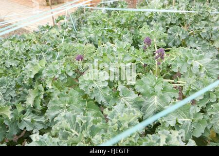 Tape stretched across Purple Sprouting Broccoli to protected from birds in the vegetable garden at RHS Rosemoor - Stock Image