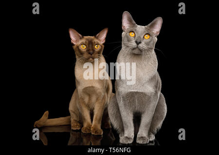 Two Burmese Cats Sitting and Looking in camera on isolated black background with reflection, front view - Stock Image