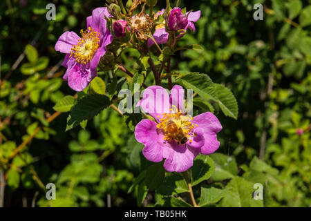 A California Wild Rose (Rosa californica) at the Merced National Wildlife refuge in the Central Valley of California - Stock Image