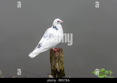A mainly white with grey patches urban pigeon (columba livia) perches on an upright piece of wood projecting from the river Avon In Chippenham Wilts - Stock Image