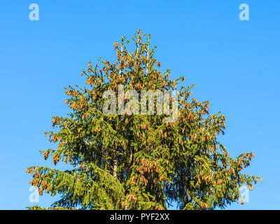 Pine tree covered in cones - France. - Stock Image