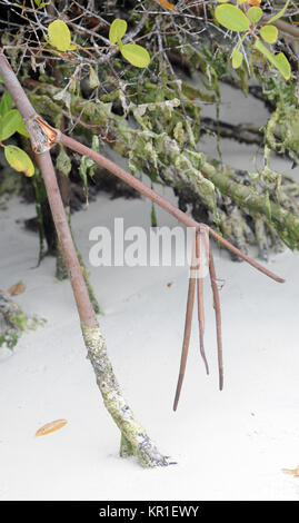 Roots of Red Mangrove (Rhizophora mangle) plunge into white sand. Tortuga Bay. Puerto Ayora, Santa Cruz, Galapagos, - Stock Image
