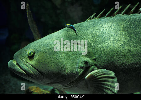Giant Atlantic Goliath Grouper being cleaned by a bluestreak cleaner wrasse fish at Ripley's Aquarium Toronto - Stock Image