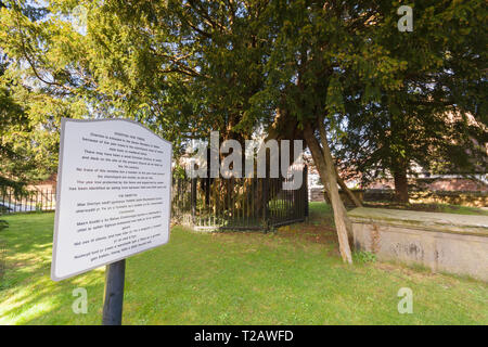 One of the ancient yew trees at Saint Mary the Virgin Church Overton on Dee thought to be 1500-2000 years old one of the seven wonders of Wales - Stock Image