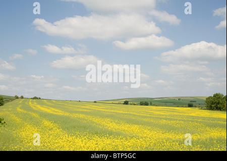 Rape Field Wiltshire, UK - Stock Image