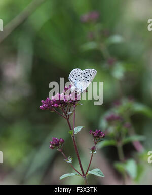 Large white Female egg laying on margoram Hungary June 2015 - Stock Image