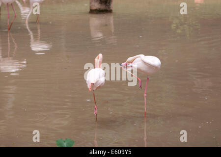 Flamingos - Stock Image