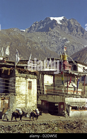 Man with basket and two loaded yaks pass Gompa temple in Jharkot village on Annapurna circuit Nepal Himalayas - Stock Image