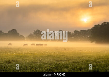 Foggy morning on the sunny green meadow with herd of cows. - Stock Image