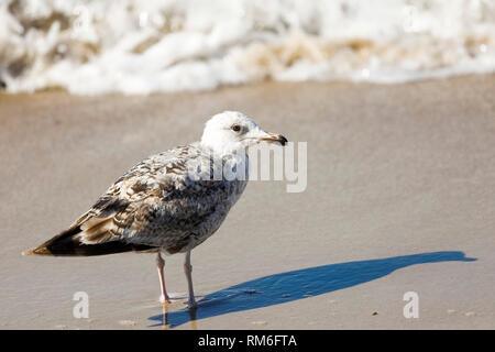A lone gull on the Baltic Sea beach casts shade on wet sand in Kolobrzeg, Poland. - Stock Image
