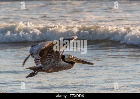 Brown pelican (Pelecanus occidentalis) flying low over a beach with waves breaking in background in Baja Californa Sur, Mexico. - Stock Image