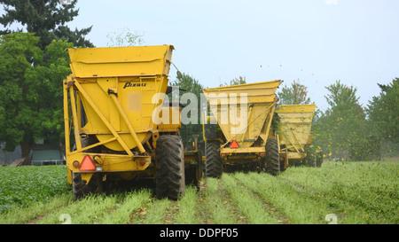 Harvesting green beans, Oregon - Stock Image