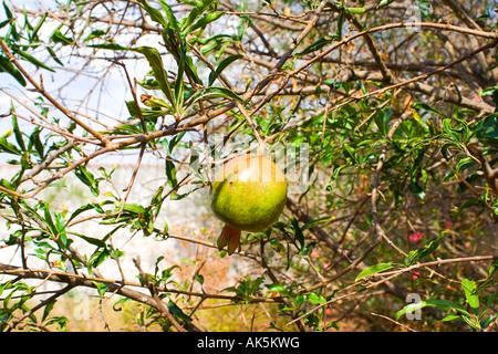 Pomegranate Punica Granatum - Stock Image