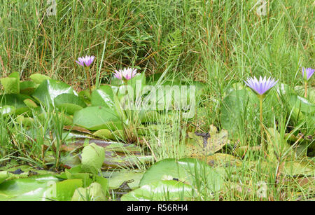 Water lilies grow in a patch of open water in the Mabamba Swamp on the edge of Lake Victoria. The  swamp is covered in  thick vegetation including pap - Stock Image