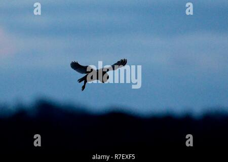 Pevensey Levels, East Sussex, UK. 9th December 2018. .UK weather. A Barn owl (Tyto alba) hunts for food at dusk after a cold day on the Pevensey Levels in East Sussex, UK Credit: Ed Brown/Alamy Live News - Stock Image