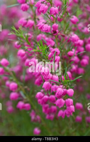 Boronia Heterophylla flowers. - Stock Image
