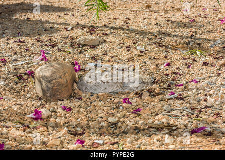 A Western Diamondback rattlesnake (Crotalus atrox) lays in wait at night, hunting for birds or rodents (Arizona) - Stock Image