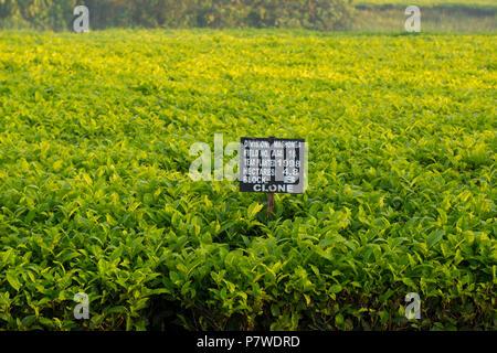 Tea Estate, Plantation, Farm in Mashonga, Uganda, East Africa - Stock Image