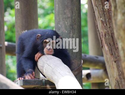 Chimpanzee at Singapore Zoo - Stock Image