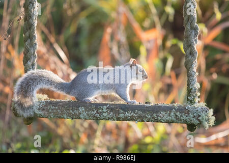 grey squirrel - sciurus carolinensis -  on a lichen covered swing in a Scottish garden - Scotland, UK - Stock Image