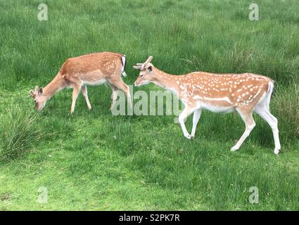 Two deer - Stock Image