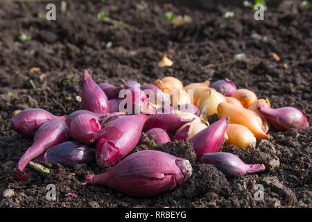 Mixed group of white and red onion sets on soil waiting to be planted - Stock Image