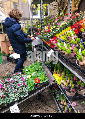 Selling winter flowering pot plants including hyacinths and cyclamens at a Christmas street market in December, UK - Stock Image
